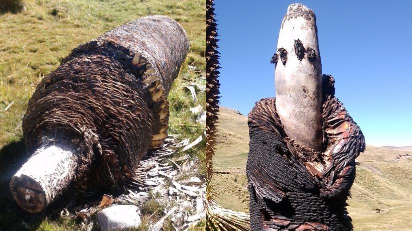 Desconocidos queman bosque de Puyas Raimondi en Yanacancha - RPP Noticias