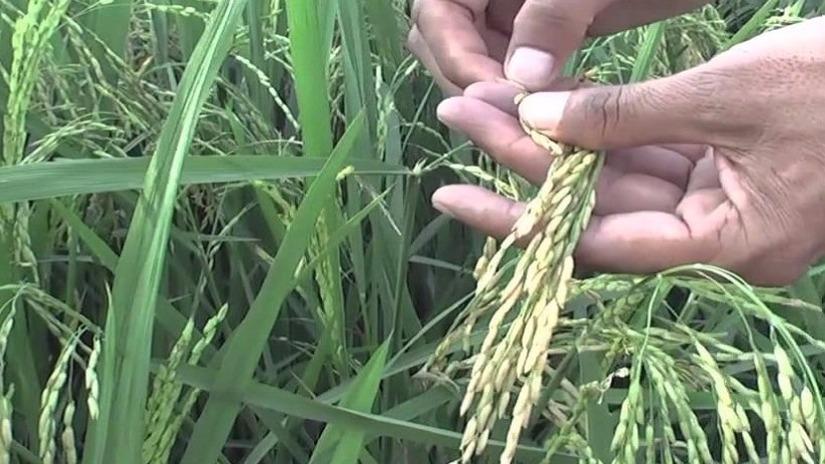 Chiclayo: Plaga afecta a cultivos de arroz de Oyotún - RPP Noticias