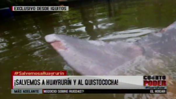 Bióloga explicó los peligros a los que está expuesto Huayrurín