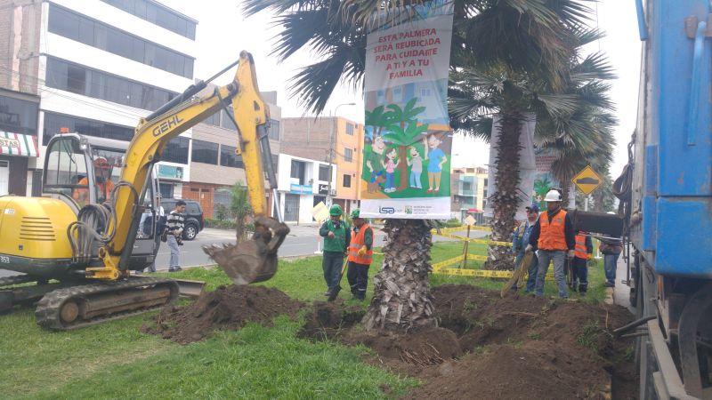 El municipio de Los Olivos garantizó que ninguna palmera será talada.
