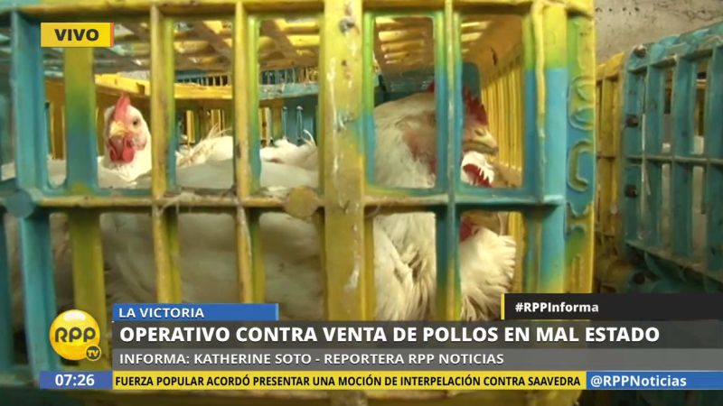 Las aves estaban amontonadas en jaulas en medio de excretas y plumas sucias.