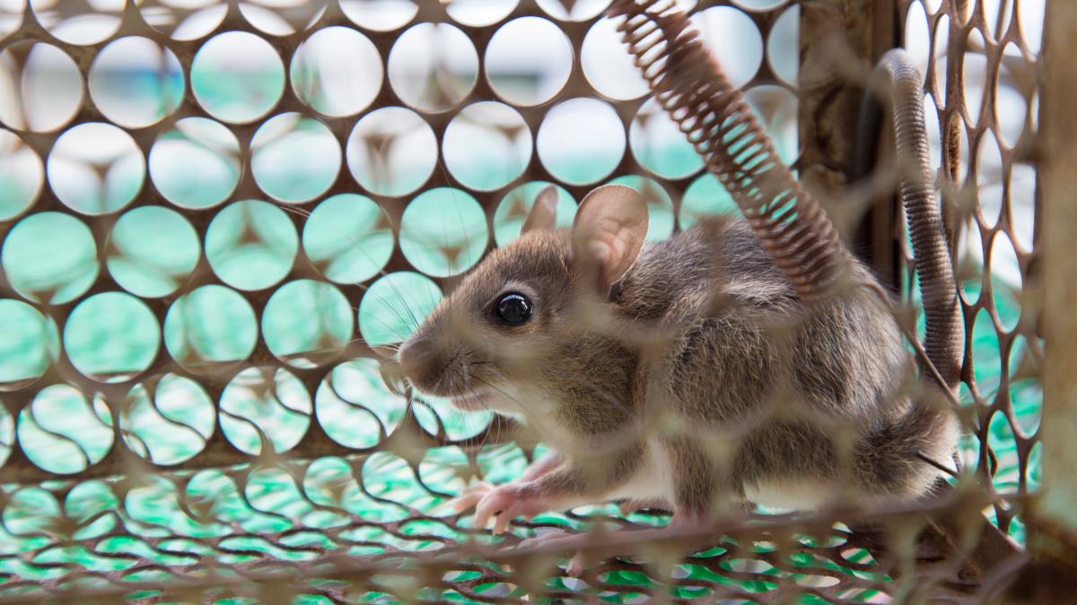 La leptospirosis se transmite por el contacto con aguas contaminadas, a través de la orina de roedores