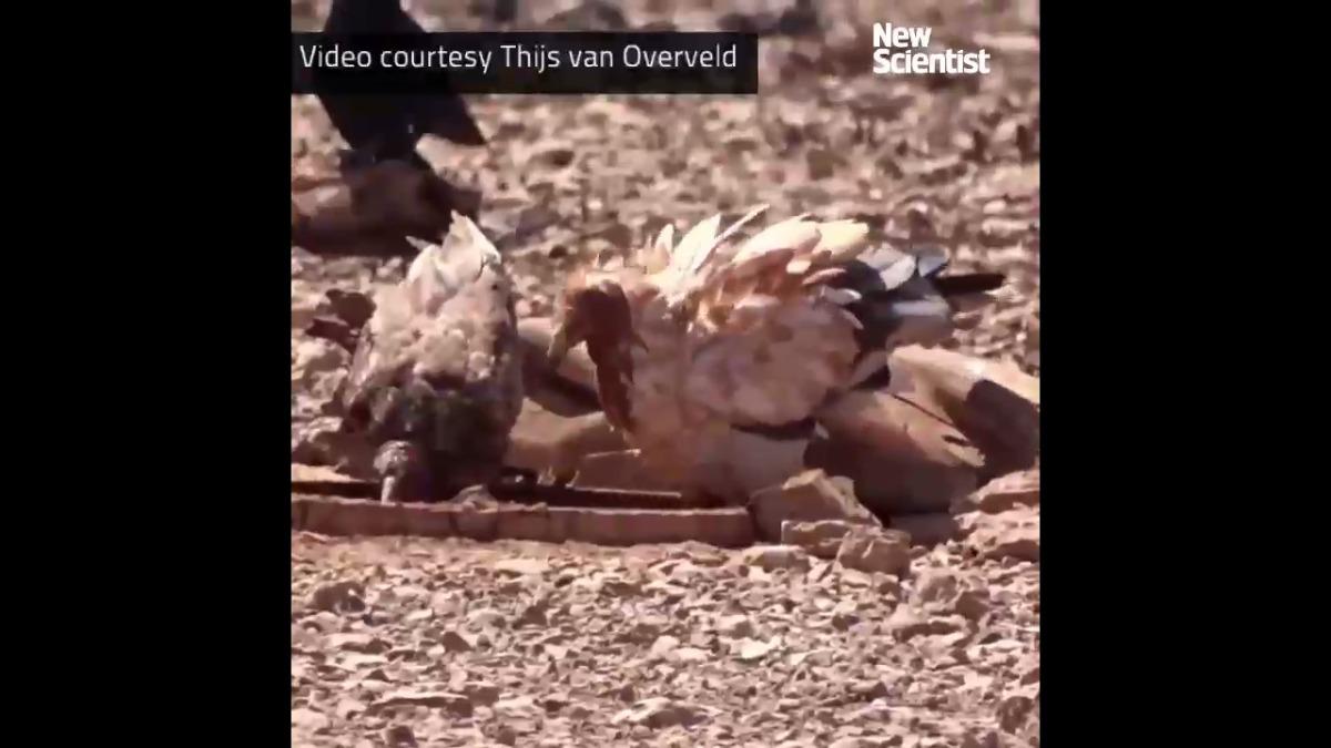 Los buitres egipcios se han visto coloreando sus plumas con agua fangosa.