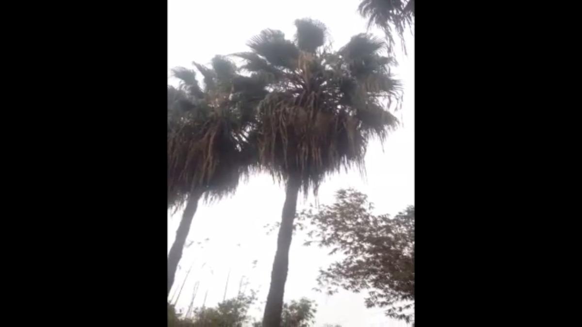 En esa palmera se encuentra el animal atrapado desde hace quince días.