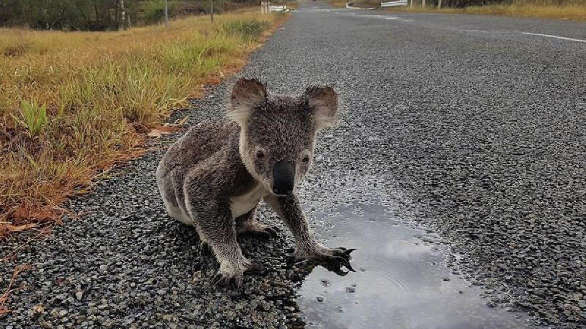 La pérdida de sus hábitats conlleva peligros para el koala, que tienen que buscar un nuevo hogar a riesgo de ser atropellado en las carreteras.