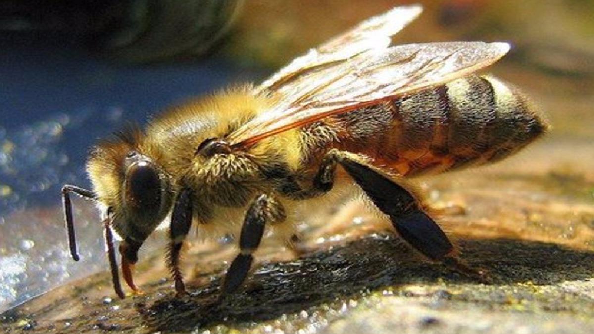 Ataque de abejas.