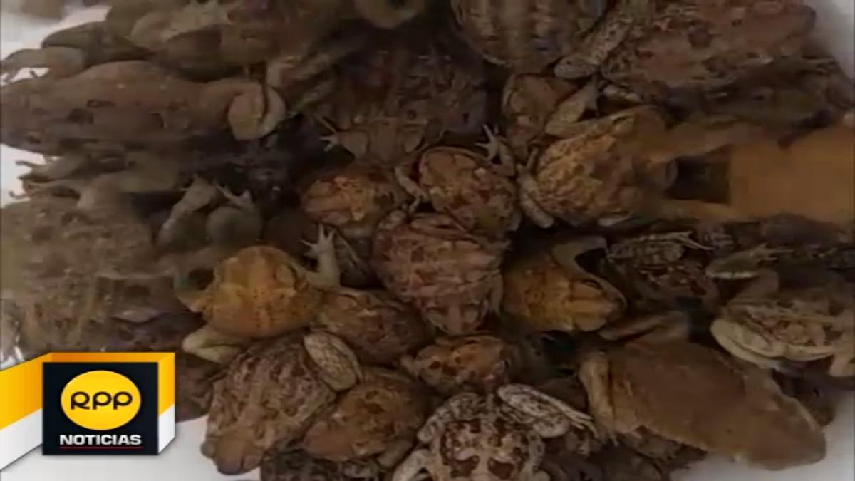 Los sapos iban en sacos y se encontraban en estado de deshidratación.