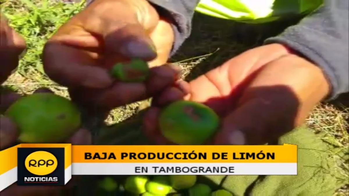 Baja producción de limón en Tambogrande.