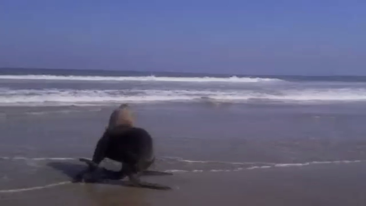 Pescadores regresan al mar a lobo marino.