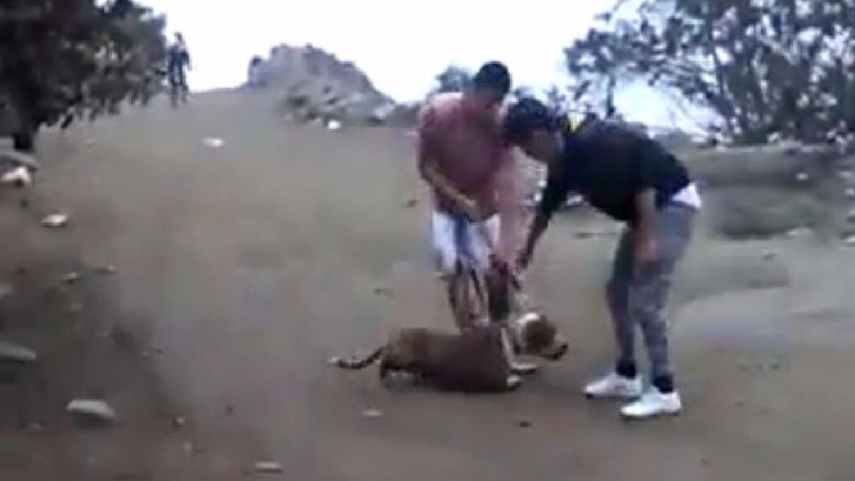 Video muestra como un pequeño can es atacado por uno de los pitbulls.