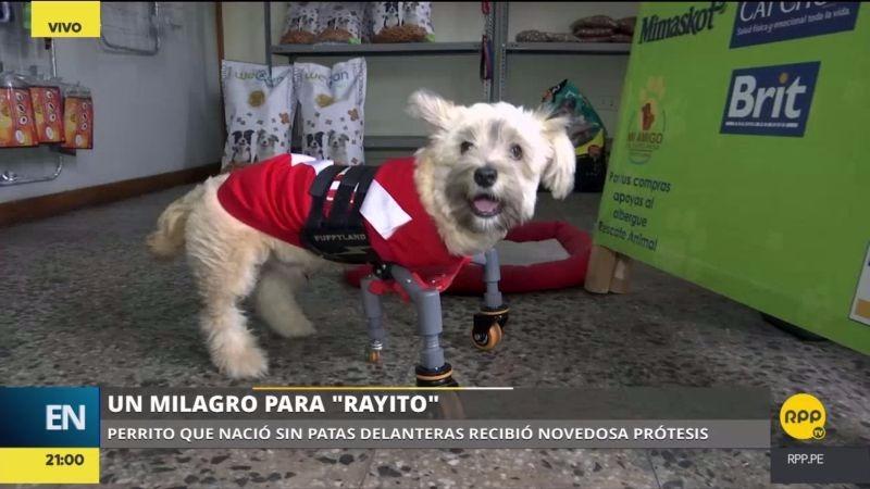 Gracias a una novedosa prótesis Rayito puede correr junto a las demás mascotas de su dueña en su casa de Chorrillos.