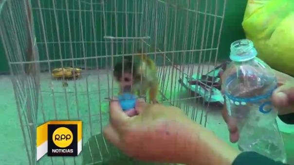 Rescatan mono Tití.