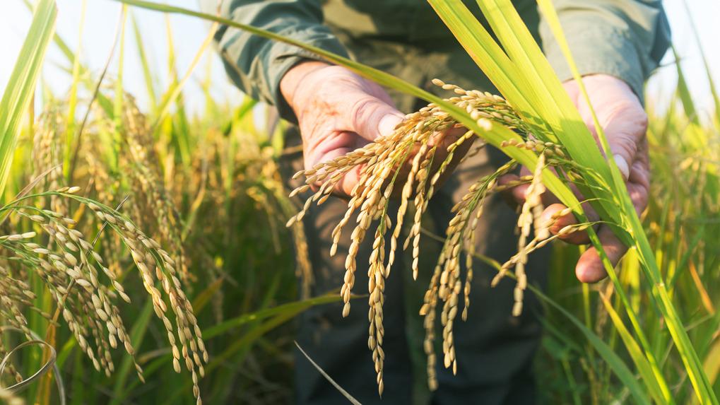 La biofortificación es un proceso mediante el cual se incrementa la concentración de los micronutrientes contenidos en las partes comestibles de las plantas.