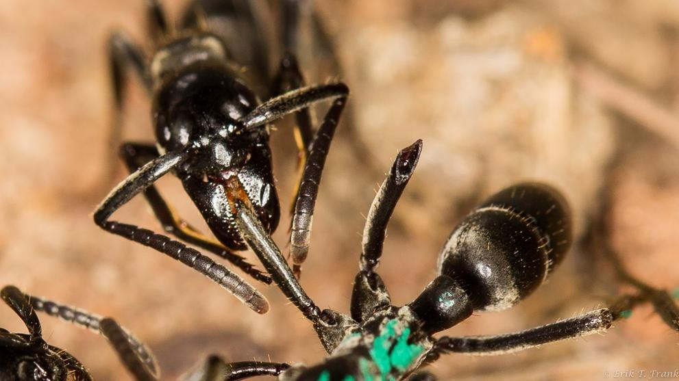 Las hormigas se ocupan intensamente de las heridas que sufrieron sus compañeras durante la lucha.