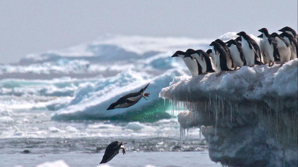 Científicos realizan conteo de pingüinos en la Antártida.