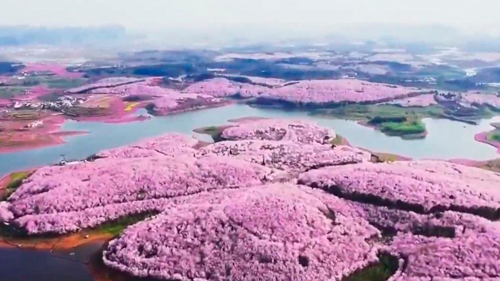 Campos al sur de China se tiñen de rosa, amarillo y blanco entre enero y marzo.