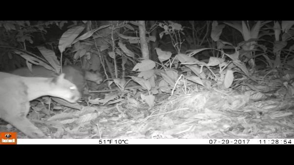 Pumas captados en video por una 'cámara trampa del Parque Nacional Tingo María