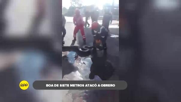 Video registró momento en que trabajadores hicieron que la boa suelte el pie del trabajador, quien afortunadamente resultó ileso.