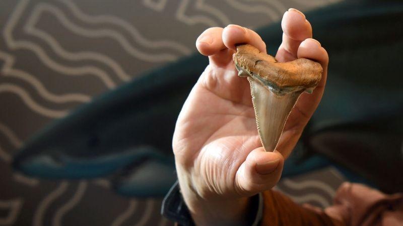El Carcharocles angustidens habitó los océanos hace unos 25 millones de años.