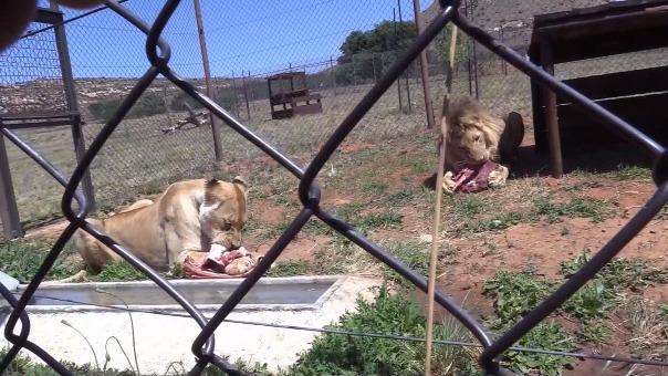 Ambos leones ya disfrutaron de su primera comida juntos.