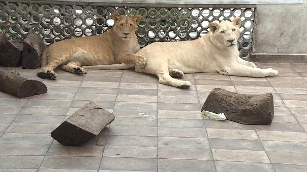 La historia de los leones que viven en un techo de Ciudad de México.