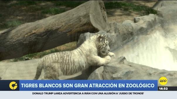 Informe de RPP TV sobre la atracción del zoológico de Huachipa.