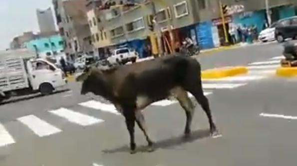 El toro estuvo en la avenida Aviación.