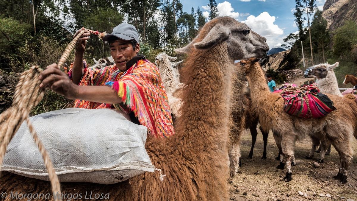 Jorge Gálvezdirige Llama Pack, un proyecto que busca recuperar la crianza tradicional de llamas.