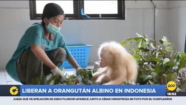 Único ejemplar albino de esta especie en el mundo, fue liberada en un bosque protegido en la isla de Borneo.