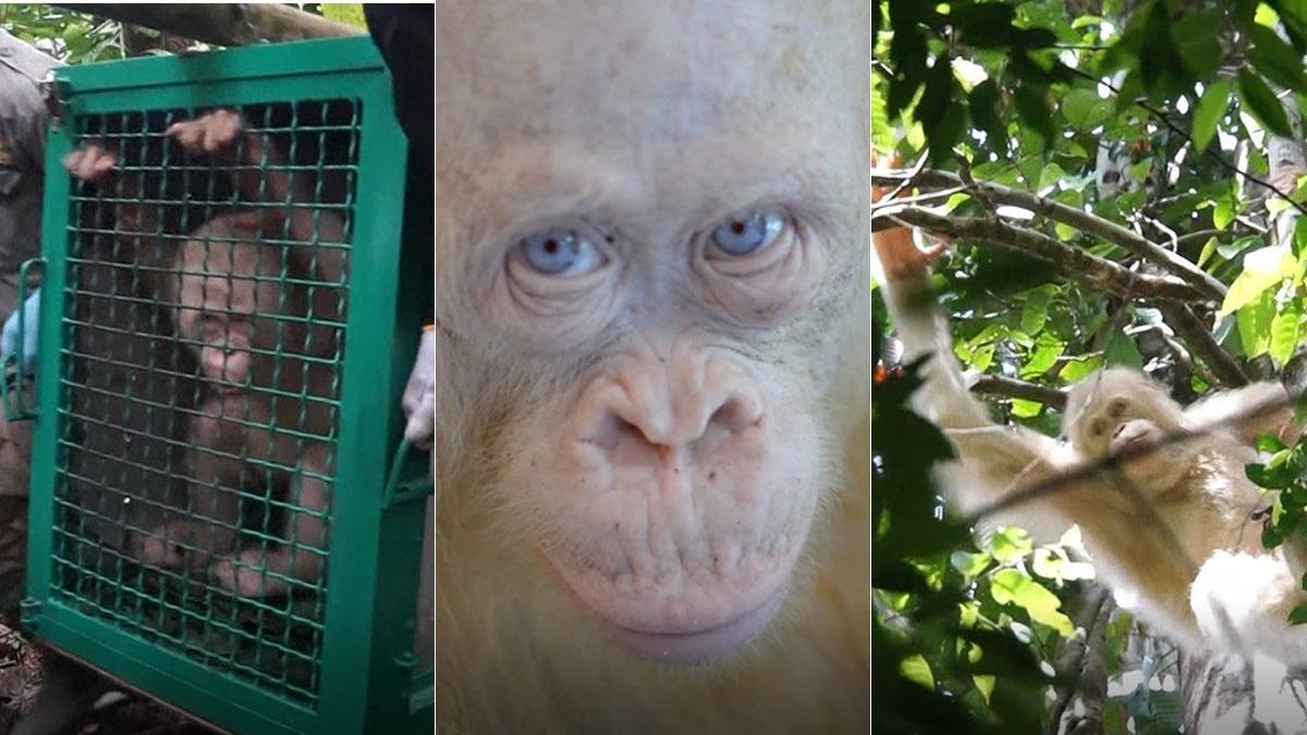 Así fue la liberación de la única oranguntana albina conocida en el mundo