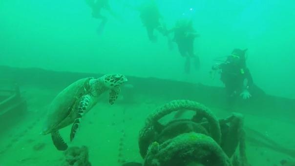 Luego de unos años bajo agua, estas estructuras se convierten en verdaderos arrecifes artificiales llenos de vida.