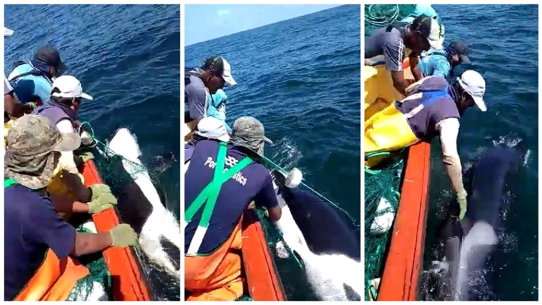 Pescadores liberaron a una orca.