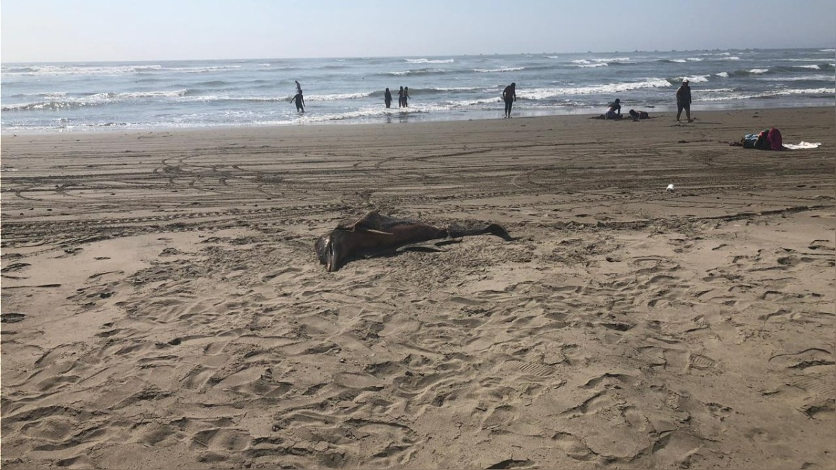 Delfines muertos en playa