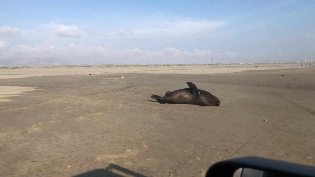 Lobos marinos muertos