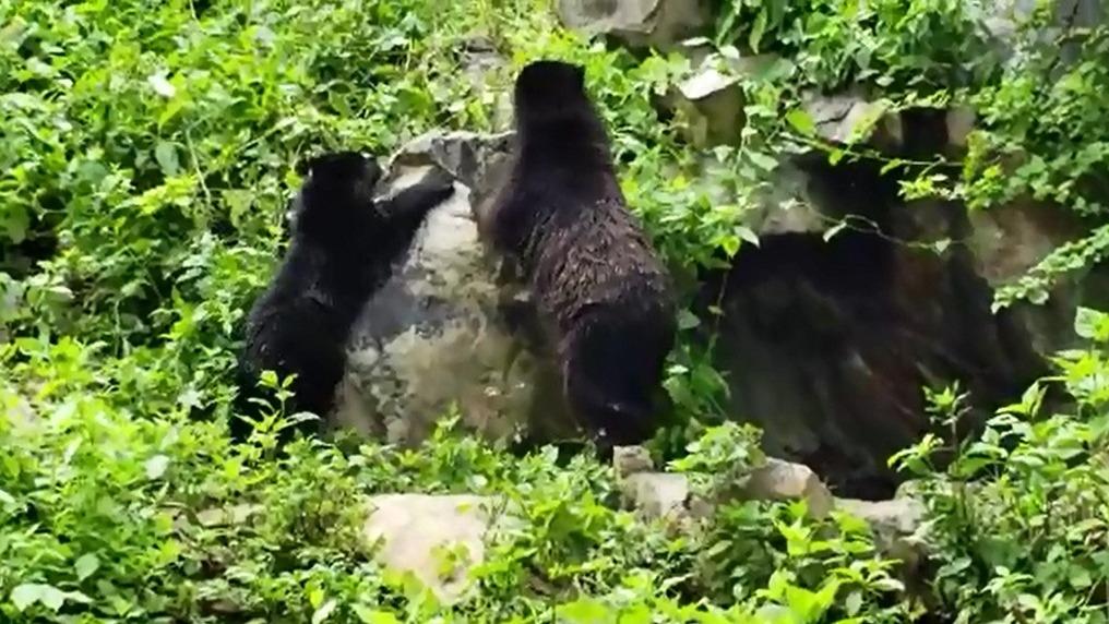 En la reserva de Chaparrí, la madre osa guía a su pequeña de 8 meses