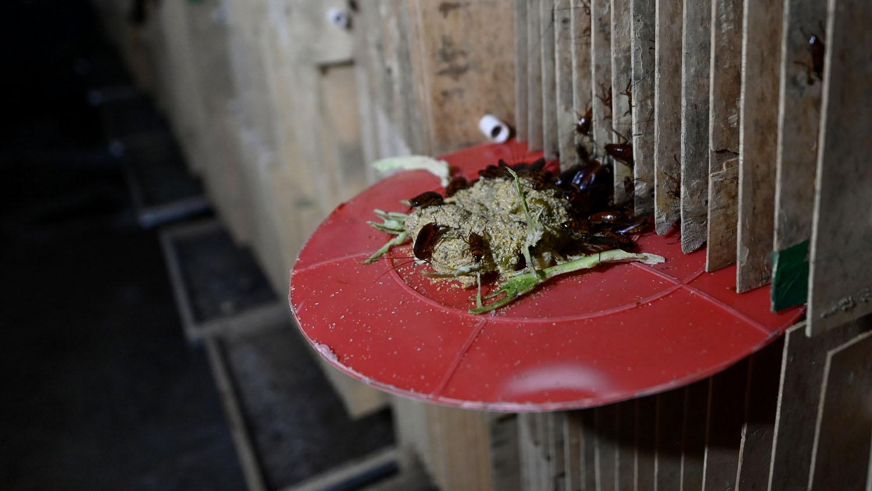 La llegada diaria de comida provoca un auténtico frenesí entre los insectos. Cuando Li Bingcai coloca sobre unas bandejas una mezcla de maíz en polvo, fruta y mondas de verduras, las cucarachas se abalanzan, trepando las unas sobre las otras.