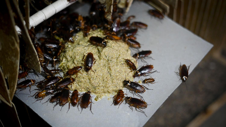 La cucaracha americana (Periplaneta americana) es una de las variedades más extendida. La consumen por sus supuestas propiedades contra las úlceras y los problemas respiratorios, o como simple vigorizante.