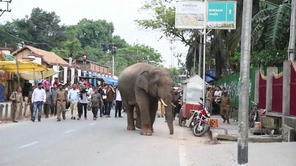 El elefante fue transportado al zoo de Guwahati, y el miércoles fue puesto en libertad en la reserva de Amsang, de donde había escapado.