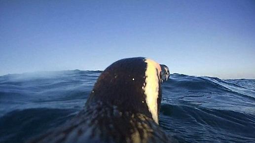Presente principalmente en Sudáfica y Namibia, este pingüino (Spheniscus demersus) con un lomo y un pico negros, vive en colonias. Puede medir entre 60 y 70 cm y pesar entre 2 y 4 kg.