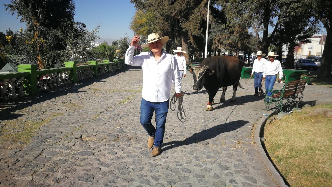 Pasean a toro de pelea 'Amador' en la Plaza de Armas de Arequipa.