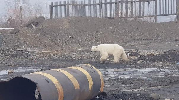Las imágenes del animal, visiblemente agotado, circularon por las redes sociales rusas.