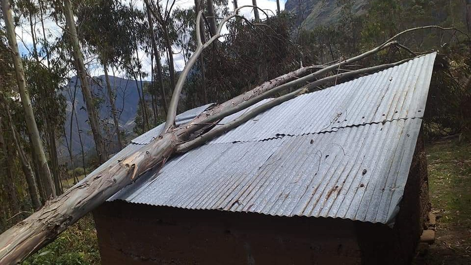 En el caserío Santa Cruz, un árbol de eucalipto cayó sobre el techo de una vivienda, producto de los fuertes vientos.