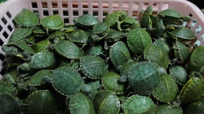 Las tortugas incautadas están valorizadas en 12.700 dólares.