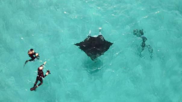 La mantarraya es considerada una de las criaturas marinas más inteligentes y es muy común en algunas partes de la costa occidental australiana.