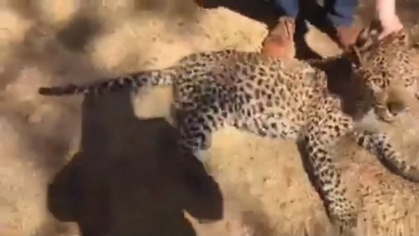 El animal tenía solo unos cinco meses, de acuerdo con la prensa local, y ya ha sido trasladado a un centro de rehabilitación para ser examinado.