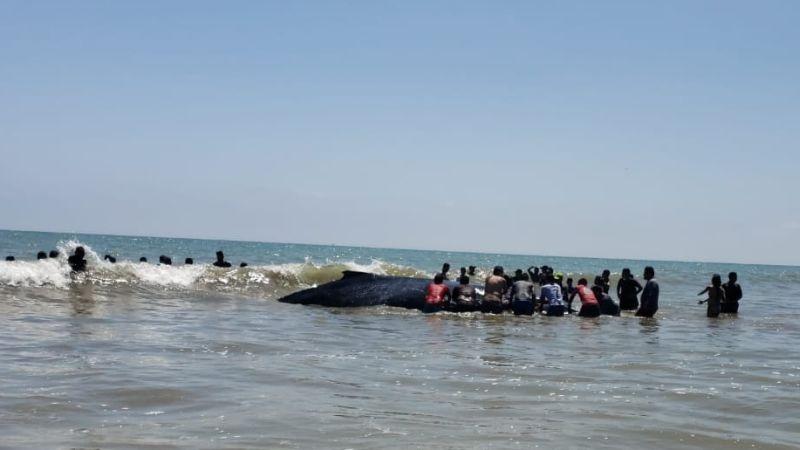 Decenas de personas participan en el rescate de la ballena.