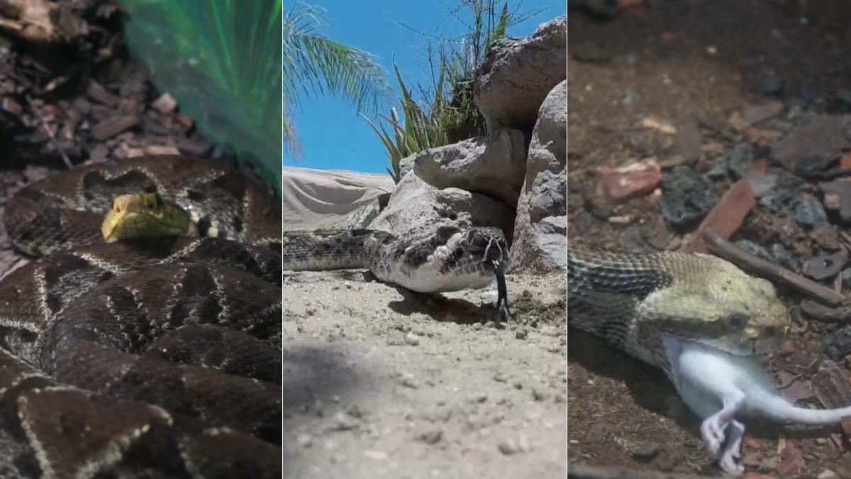 La serpiente cascabel