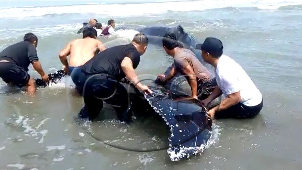 Pobladores ayudan a ballena varada