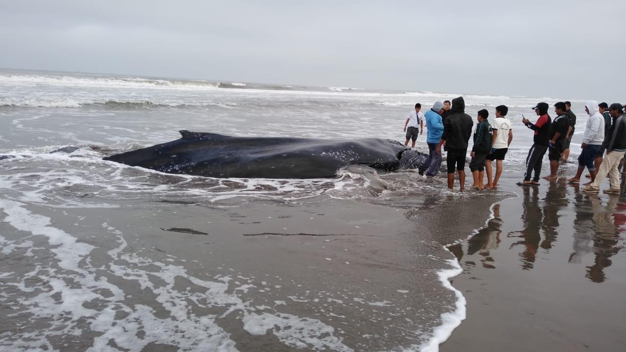 Con maquinaria tratan de regresar al mar a ballena