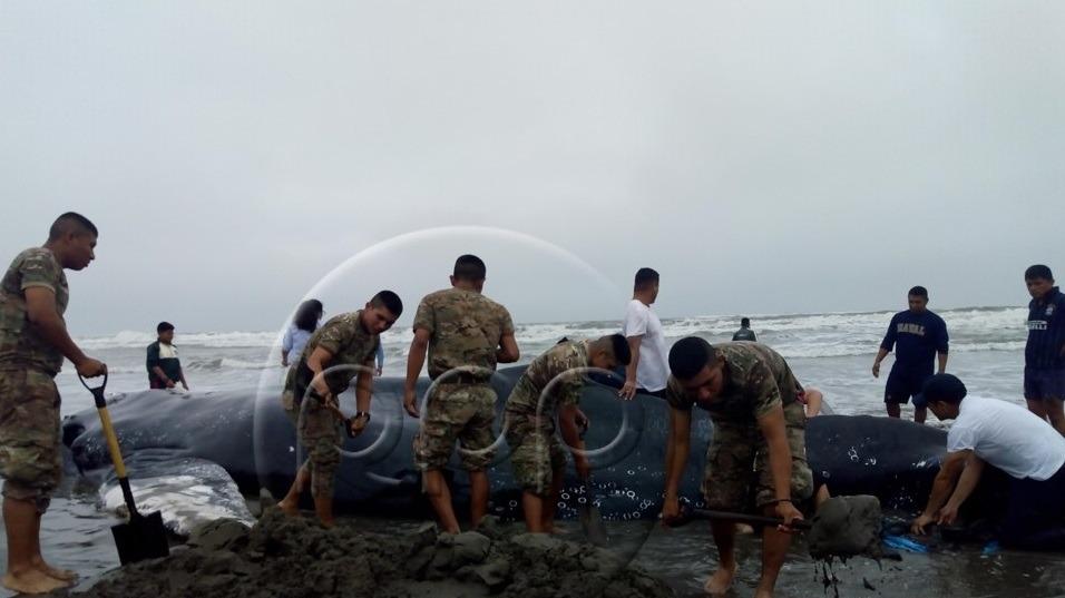 Soldados del Ejército del Perú intentan salvar la vida a ballena.